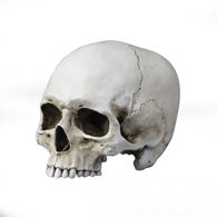 life-size resin skull is jawless and finished to look like real aged bone