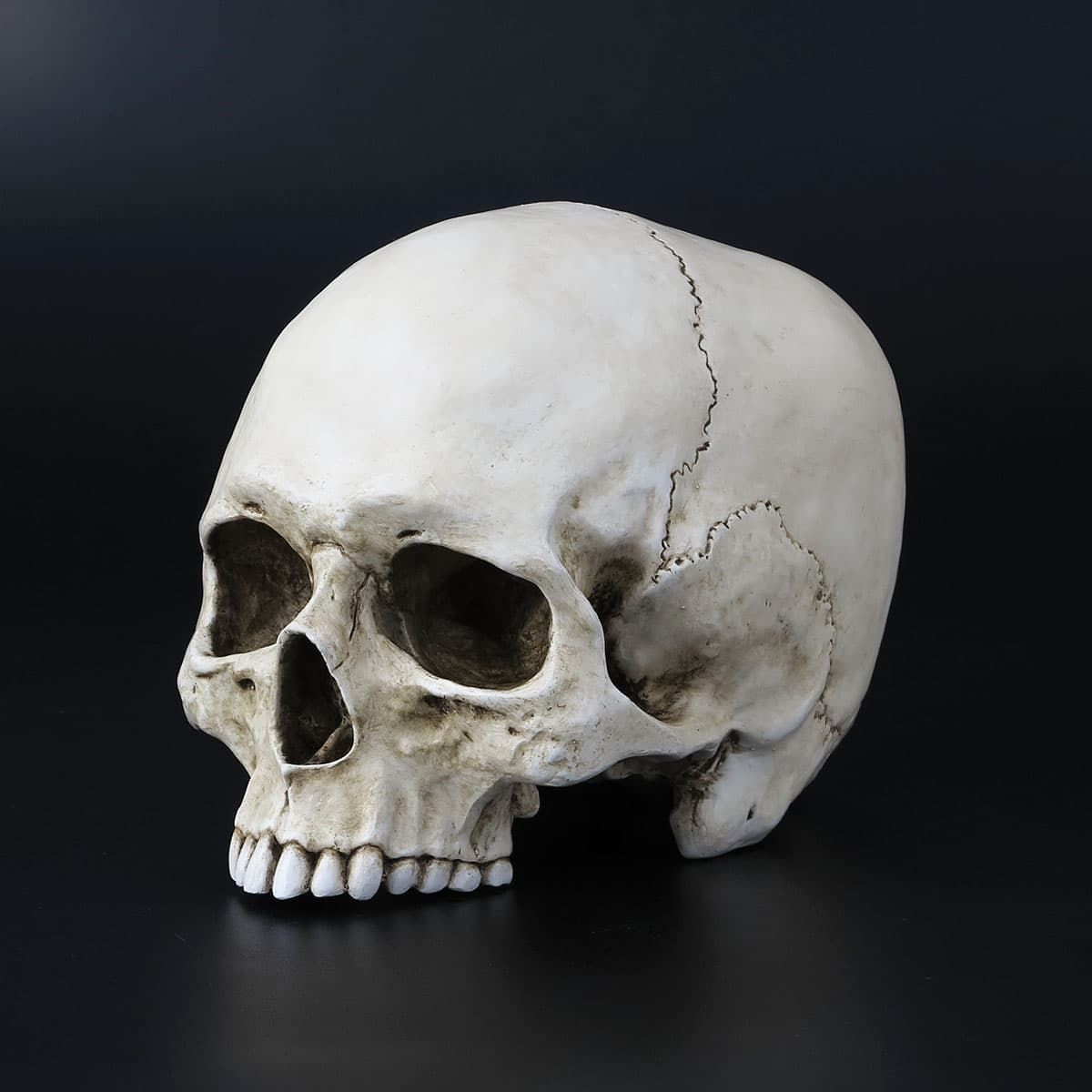 Picture of Life Size Jawless Human Skull Sculpture
